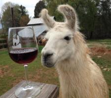 Llama with Wine